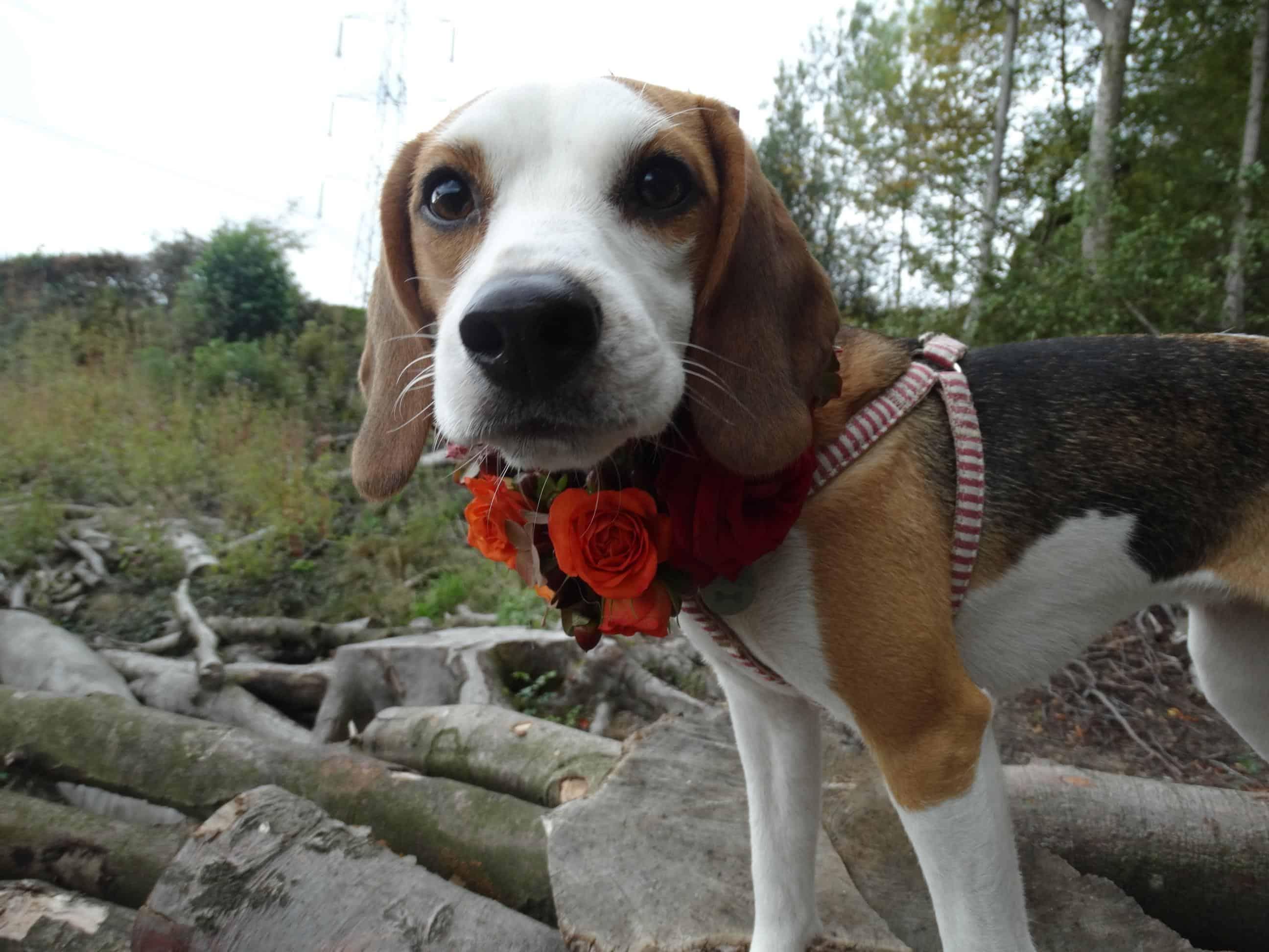 Too close? Bramble the Beagle