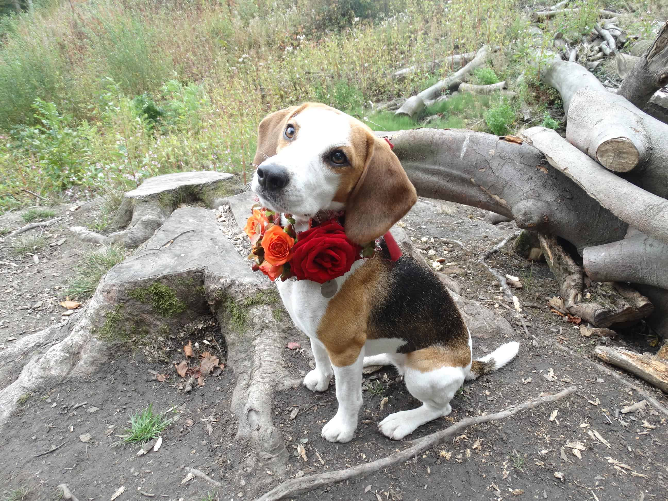 Sitting nicely - beagle flowers