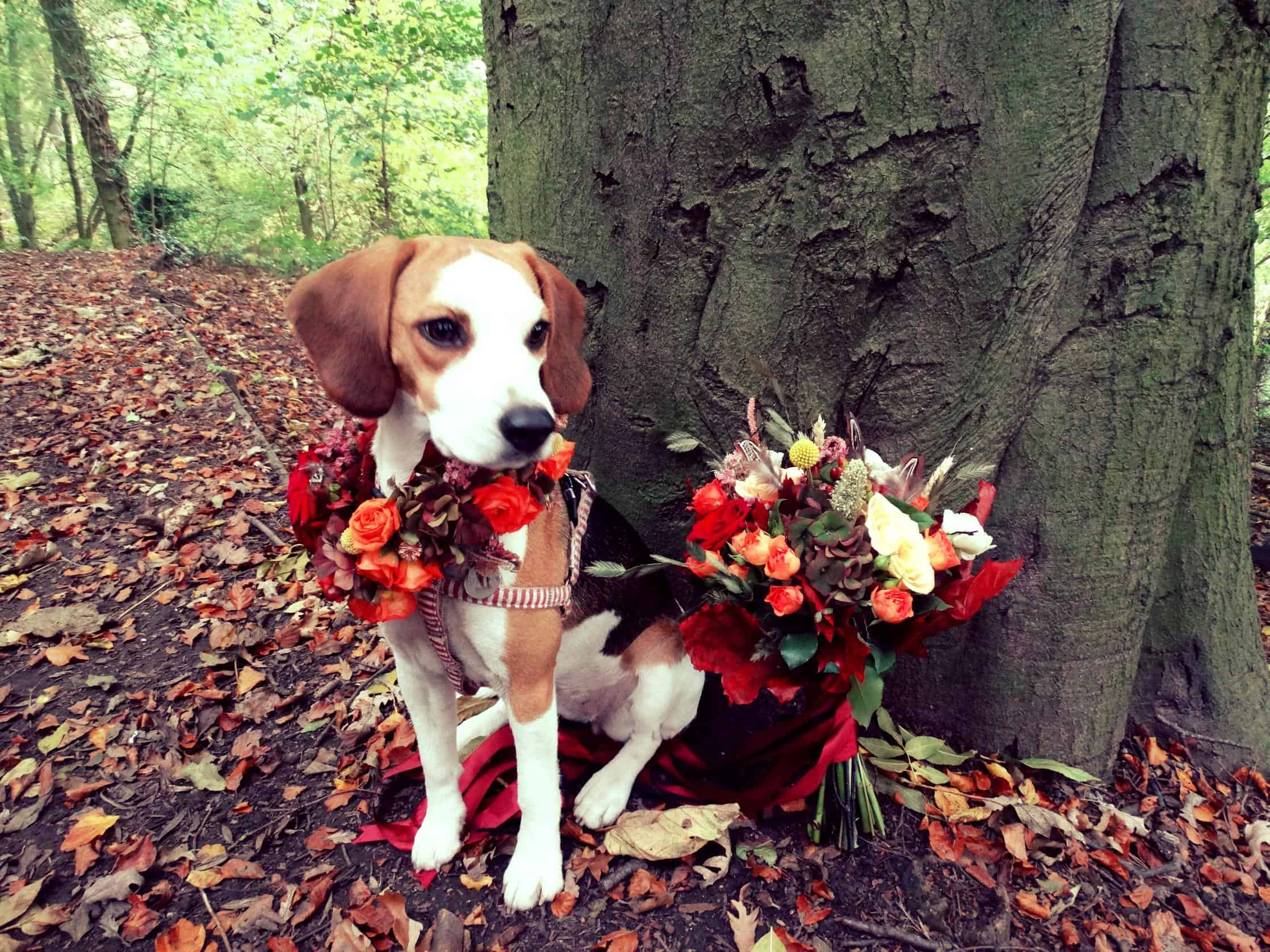Bramble the Beagle dressed in flowers