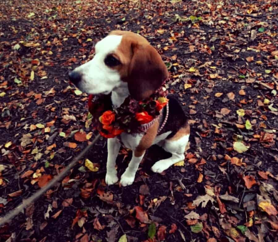 Good girl - Beagle pose